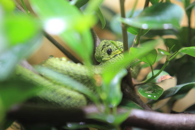 Great Lakes bush viper. Among the leaves anch branches stock photos