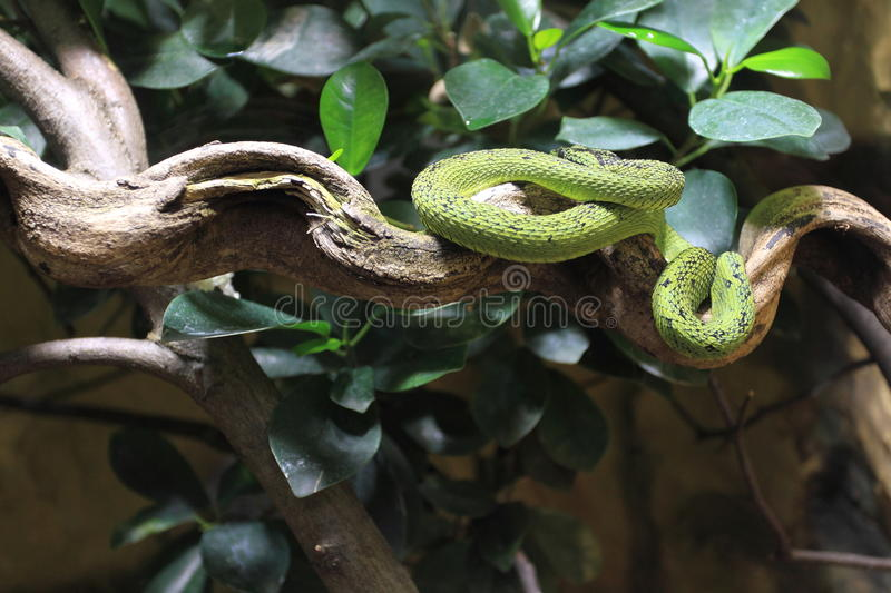 Great Lakes bush viper. On the tree royalty free stock images