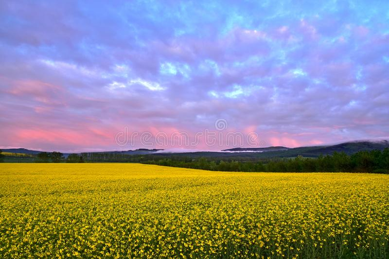 Great landscape at dusk. Great landscape with yellow canola field and purple sky clouds at the dusk stock images
