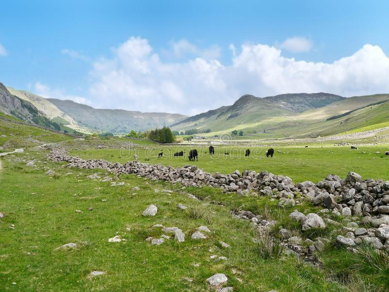 Great Langdale valley, Lake District. Great Langdale looking easterly with field of cows and sheep, blip over there is Side Pike stock photography