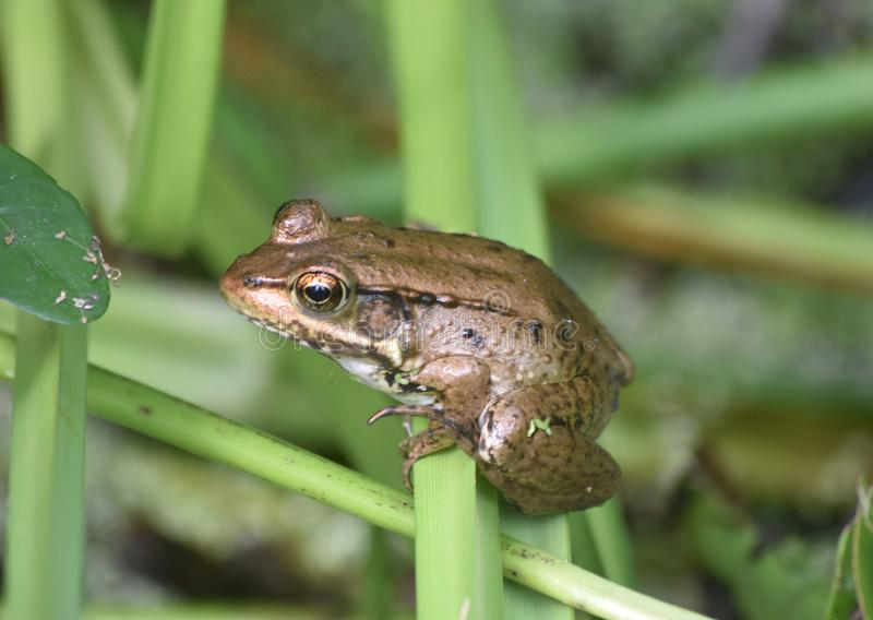 Amazing Look at a Frog in the Swamps of Louisiana royalty free stock photos