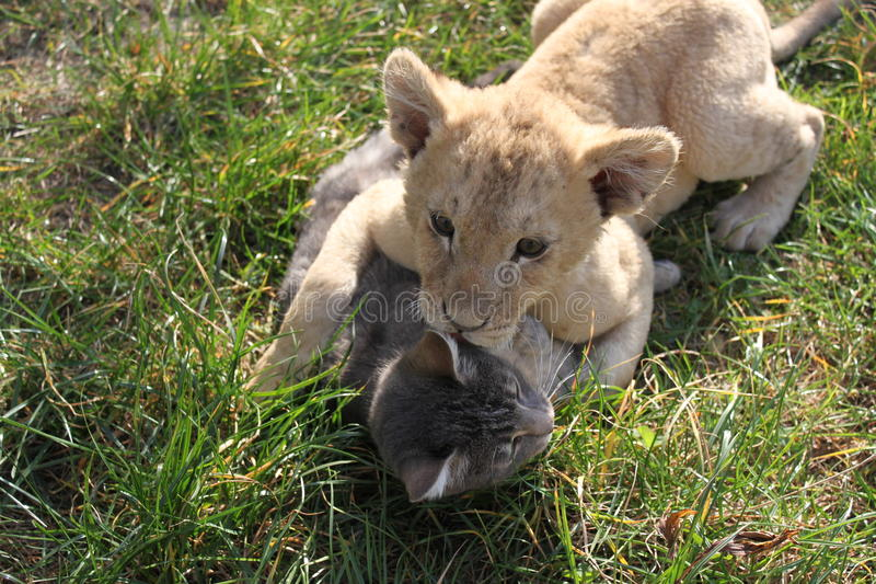 Great love in the feline family. Lionet and cat playing playing in grass royalty free stock photo