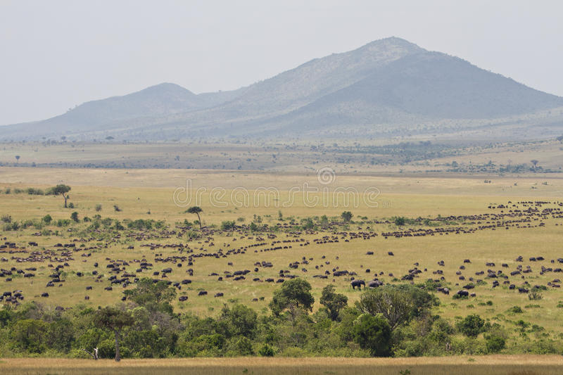 The great migration in the Masai Mara stock photography