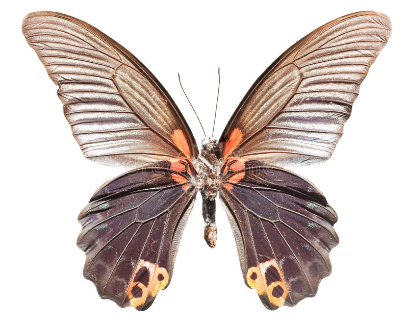 Great Morman Butterfly. [Papilio memnon agenor royalty free stock photo