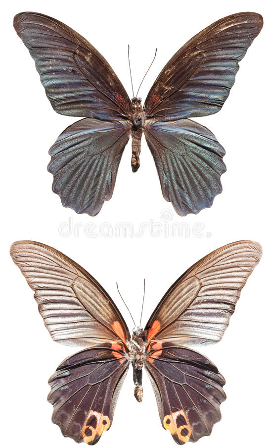 Great Morman Butterfly. [Papilio memnon agenor] upper and lower royalty free stock image