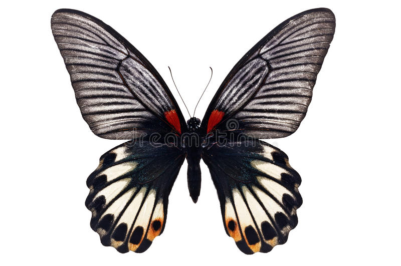 Great Mormon butterfly stock photo