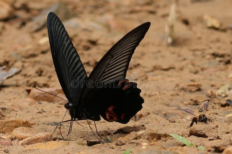 Great Mormon butterfly and a bee. A Great Mormon butterfly resting on the ground next to a flying bee stock image