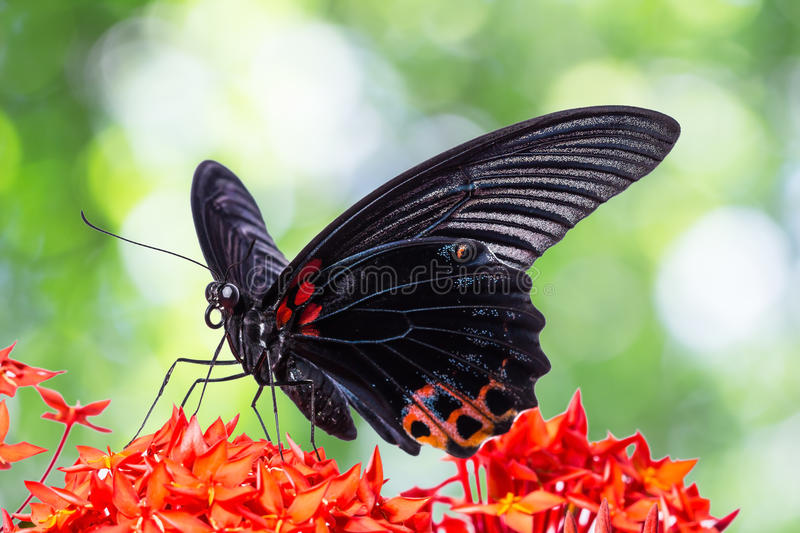 Great Mormon butterfly. Close up of Great Mormon (Papilio memnon agenor) butterfly on red ixora flower stock image