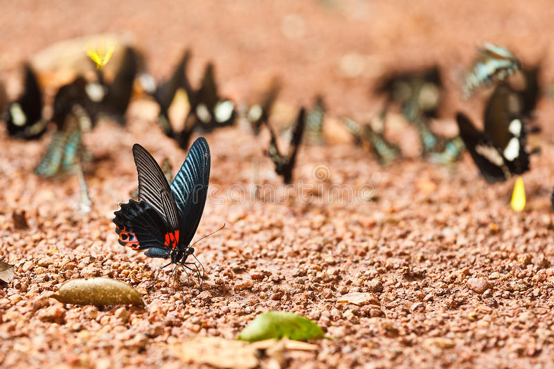 Great Mormon butterfly eating salty soil stock images