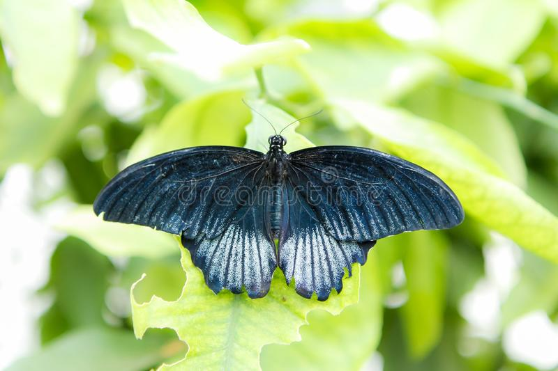Great mormon butterfly female. Great mormon Papilio memnon agenor butterfly resting on a leaf stock photo