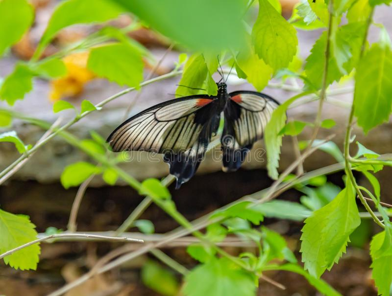 Great mormon butterfly on the ground. Great mormon butterfly on the ground in a butterfly pavilion in Omaha Nebraska stock image