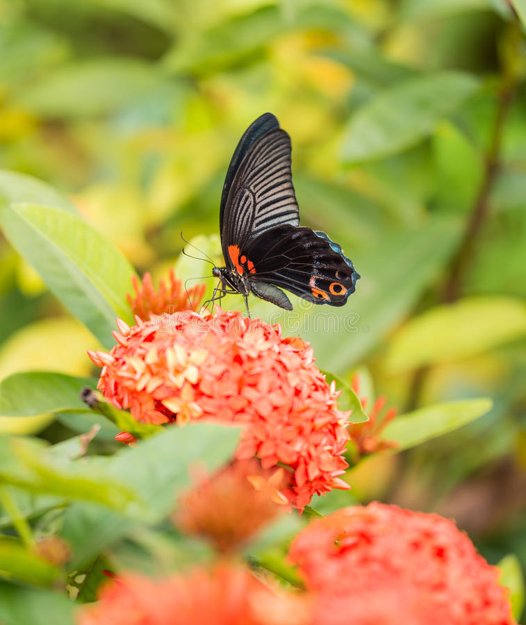 Great Mormon butterfly. And ixora flower royalty free stock photos