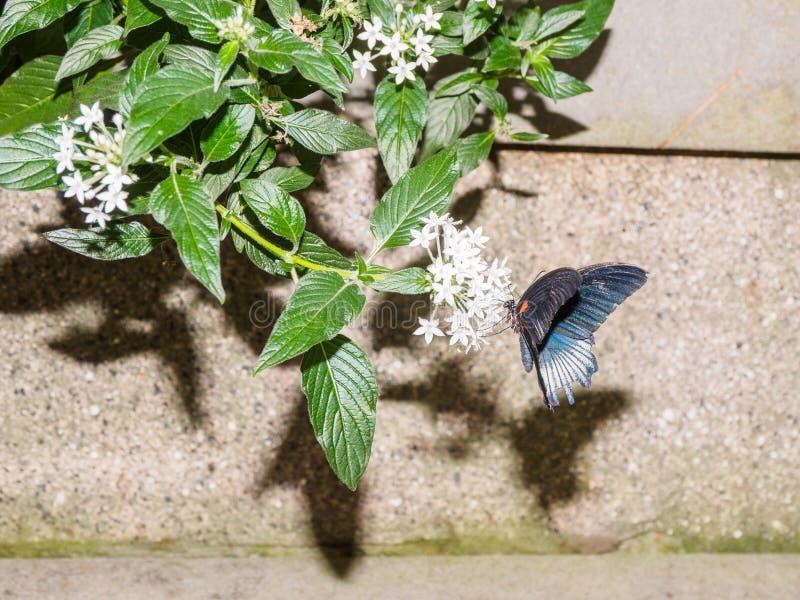 Great Mormon butterfly Papilio Memnon stock photos