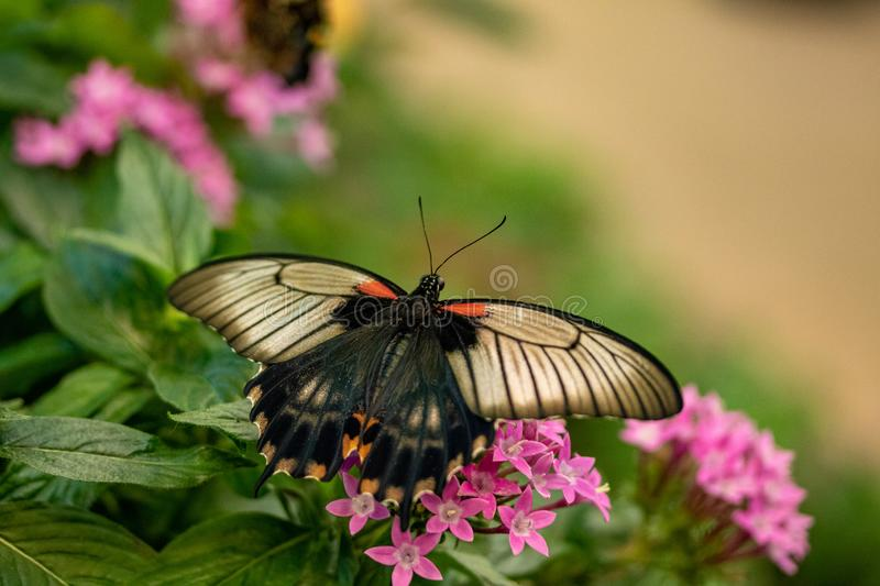 Great Mormon Butterfly. A Great Mormon Butterfly on pink flowers stock photo