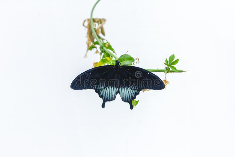 Great mormon butterfly rests on a leaf. Great mormon Papilio memnon agenor butterfly rests on a small leafy branch royalty free stock image