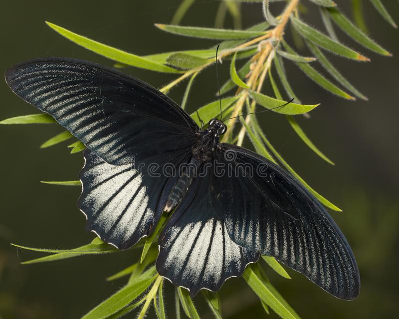 Great mormon butterfly. The great mormon is a distinctively shiny black butterfly royalty free stock photo