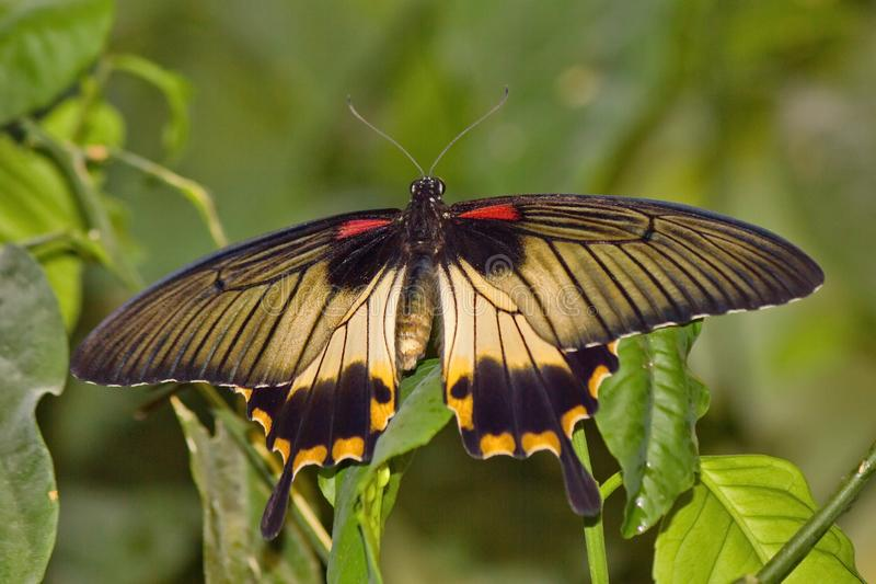 The Great Mormon Lat. Papilio memnon is a large butterfly with contrasting colors. Beautiful butterfly. royalty free stock photo