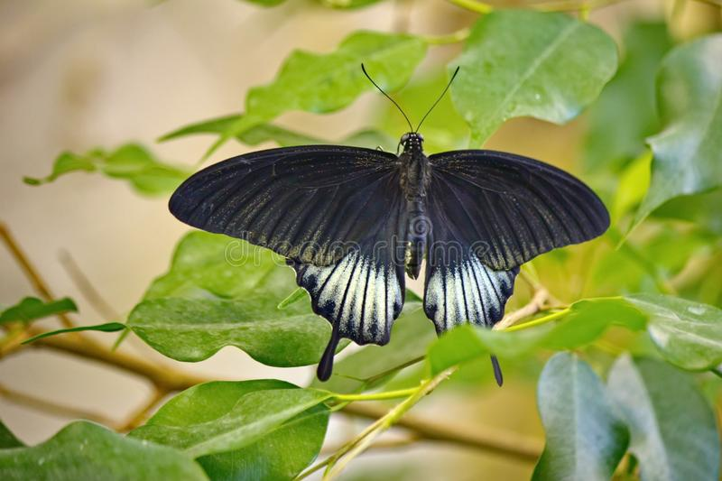 The Great Mormon Lat. Papilio memnon is a large butterfly with contrasting colors. Beautiful butterfly. About 13 of subspecies royalty free stock photography