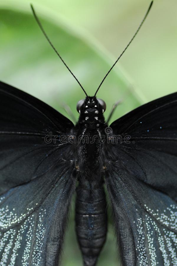 Great Mormon male in Taoyuan, Taiwan. Closeup dorsal view male Great Mormon butterfly royalty free stock photo