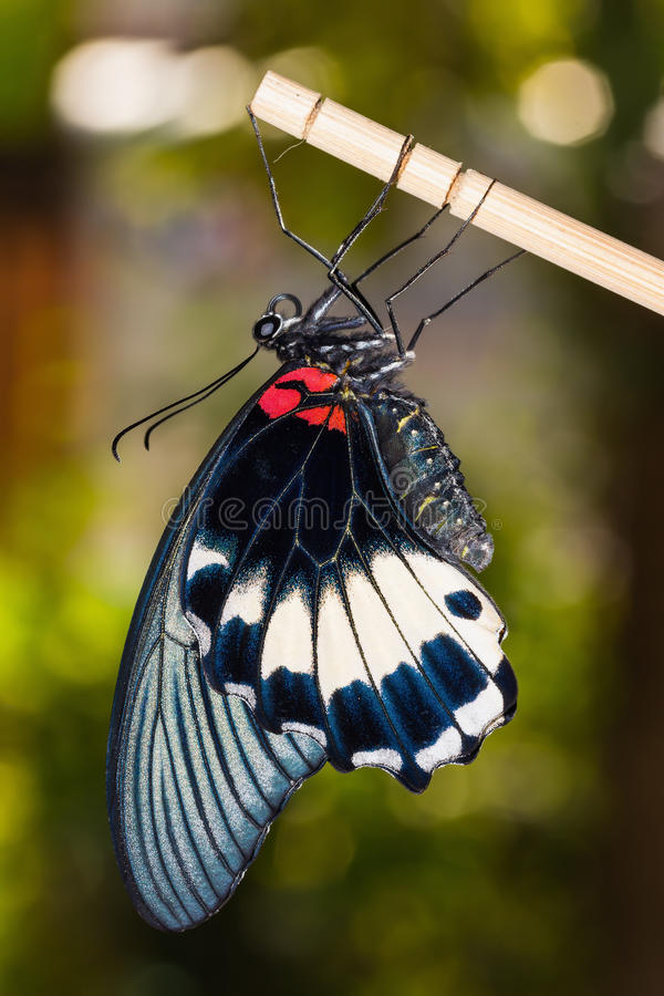 Great Mormon (Papilio memnon agenor) butterfly. Close up of newly born (complete metamorphosis) great mormon butterfly clinging on stick stock photo