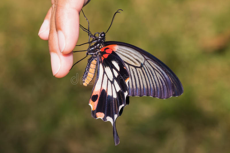 Great Mormon (Papilio memnon agenor) butterfly. Close up of great mormon butterfly clinging on fingers in the garden royalty free stock photography