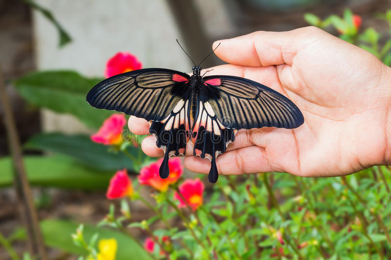 Great Mormon (Papilio memnon agenor) butterfly. Back side of great mormon butterfly clinging on human hand in the garden stock images