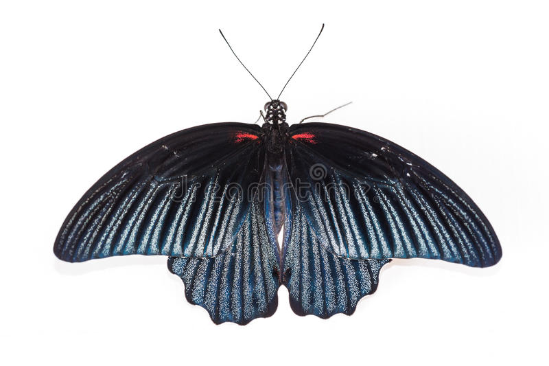 Great Mormon (Papilio memnon agenor) butterfly. Close up of back side of Great Mormon butterfly, on white background royalty free stock images