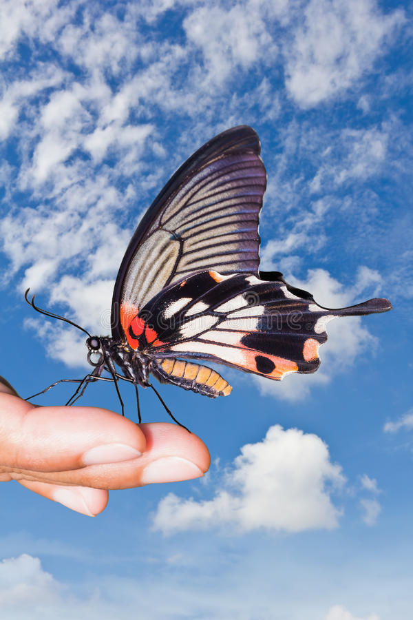 Great Mormon (Papilio memnon agenor) butterfly. Close up of hand supporting great mormon butterfly stock photos