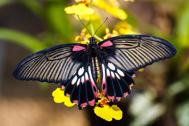 The Great Mormon (Papilio memnon agenor) butterfly. From Thailand royalty free stock photo