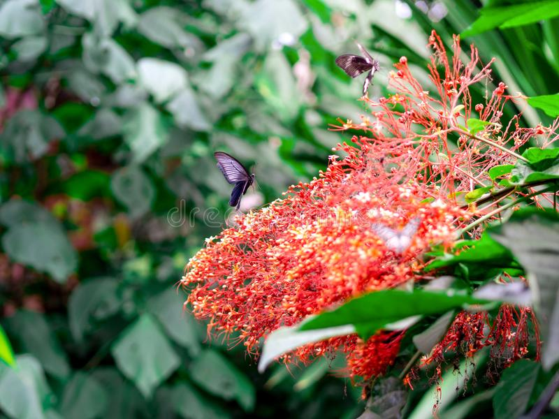 Great Mormon Papilio memnon agenor on Pagoda flower Clerodendrum paniculatum in Thailand. Great Mormon Papilio memnon agenor on Pagoda flower Clerodendrum royalty free stock photos