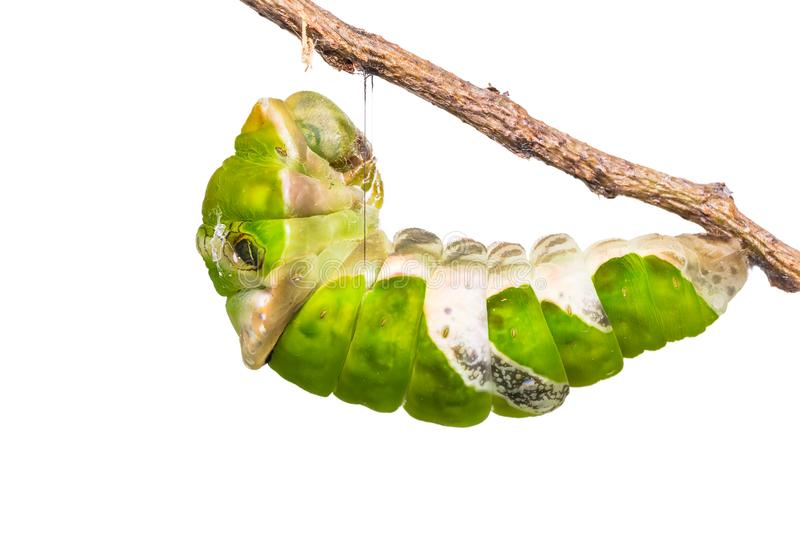 Great Mormon Papilio memnon caterpillar. Close up of Great Mormon Papilio memnon caterpillar prepares itself for pupation, isolated on white background with stock image