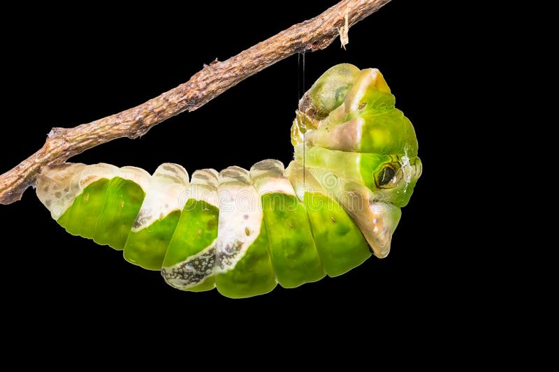 Great Mormon Papilio memnon caterpillar. Close up of Great Mormon Papilio memnon caterpillar prepares itself for pupation, isolated on black background with royalty free stock photo