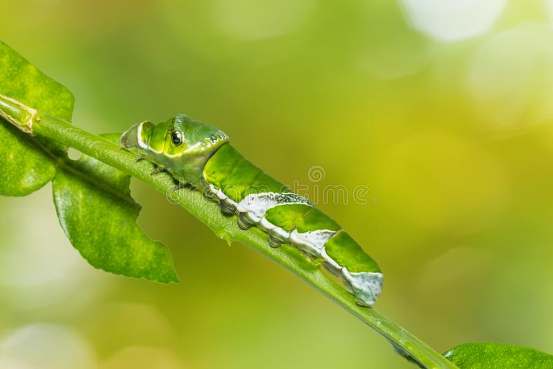Great Mormon Papilio memnon caterpillar. Close up of last instar of Great Mormon Papilio memnon caterpillar on its host plant stem on nature background stock image