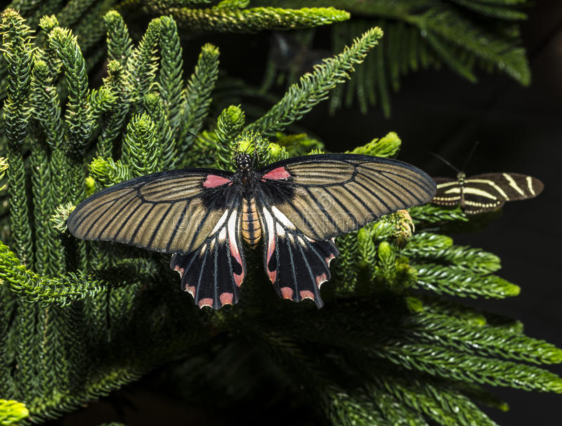 The Great Mormon (Papilio memnon) female stock photography