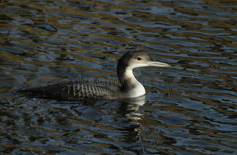 Great northern Diver Gavia immer swimming in a canal. stock photography