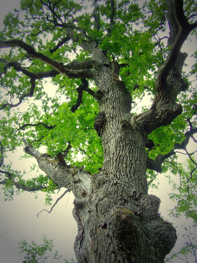 Great Oak royalty free stock photography