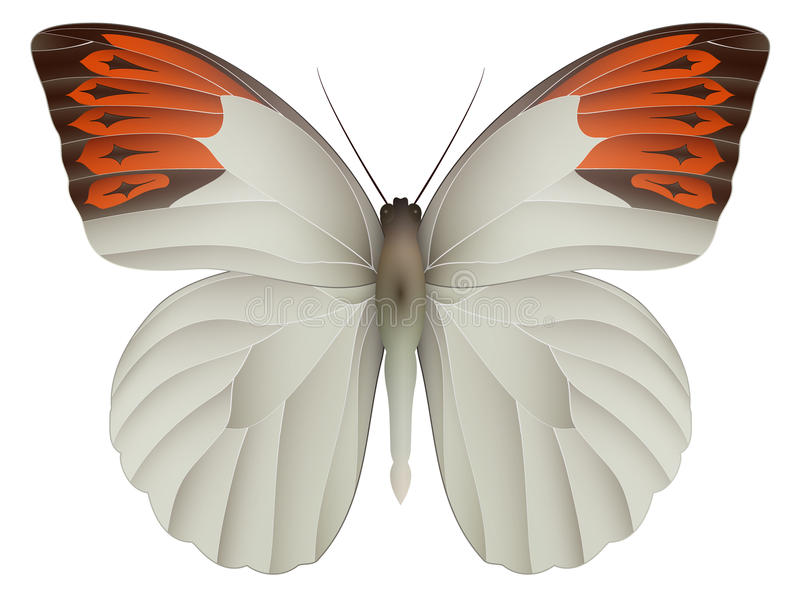 Great orange tip butterfly isolated on a white royalty free illustration