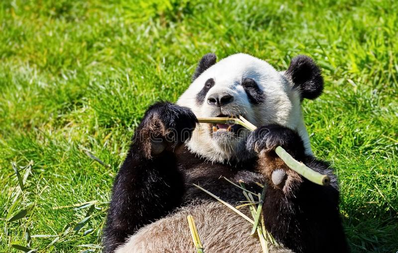 The great Panda Ailuropoda melanoleuca is a bamboo bear, one of the rarest animals listed in the international Red book. royalty free stock image