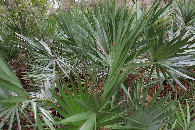 Palmetto Palm Patch in Florida. A great photo of a Florida palmetto patch growing in its natural habitat. This is a nice backdrop for designers of all trades royalty free stock image