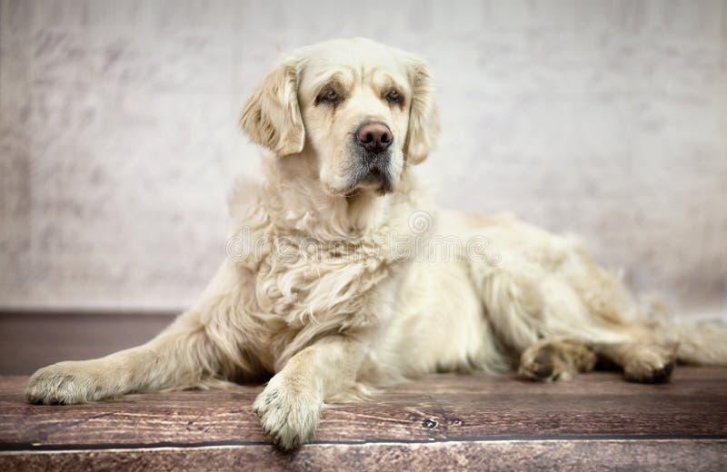 Great photo of white friendly dog stock photos