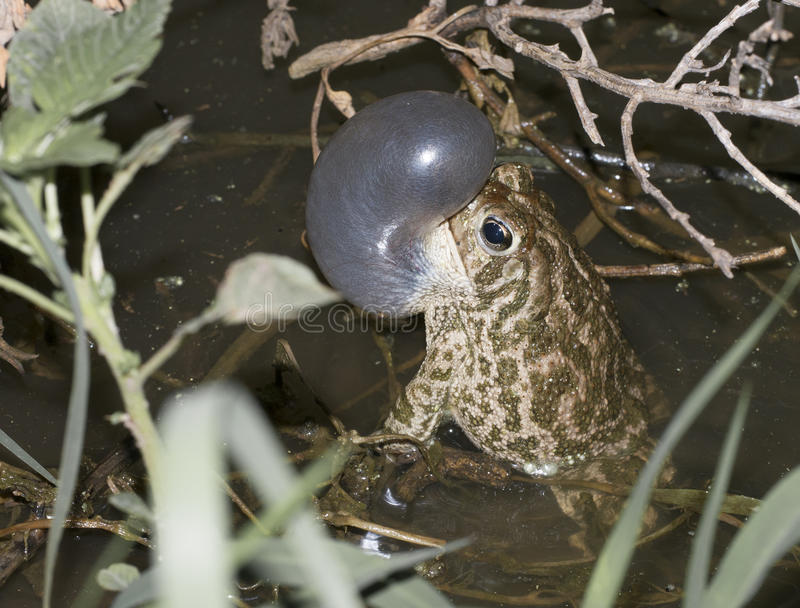 Great Plains toad. (Anaxyrus cognatus) calling in breeding pond stock photography