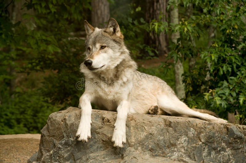Great Plains watchful wolf arkivfoto
