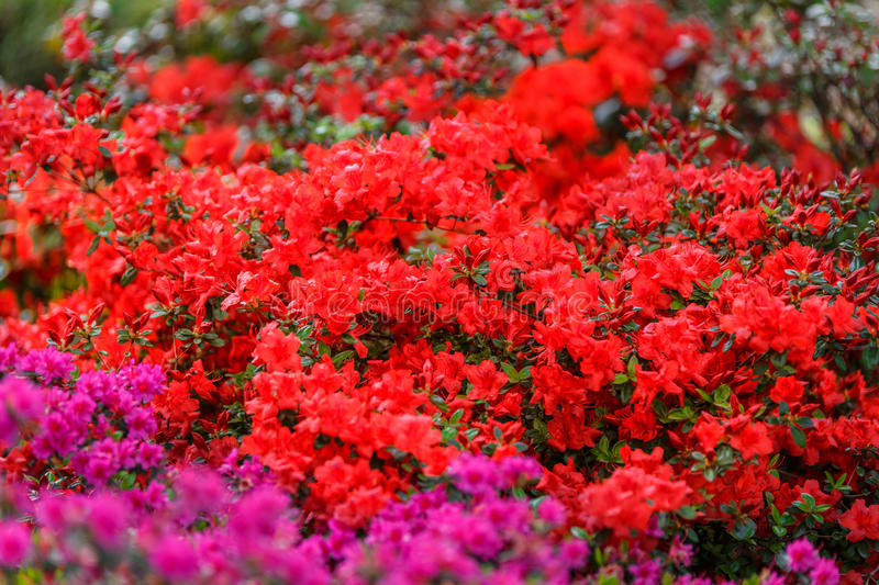 Great and pretty flowering next to pink flowers. In a beautiful garden stock photography