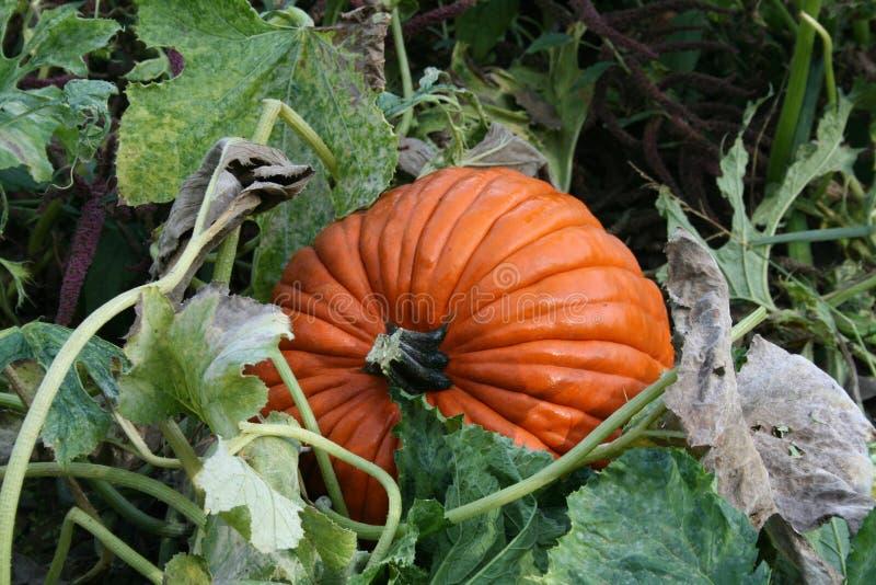 Download Great pumpkin stock photo. Image of seasonal, garden, halloween - 6066972