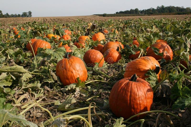 Great pumpkin stock photos