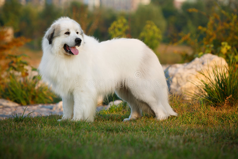 Great Pyrenees. A great pyrenees on the stone