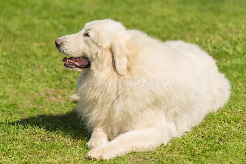 Great Pyrenees dog in the park royalty free stock image