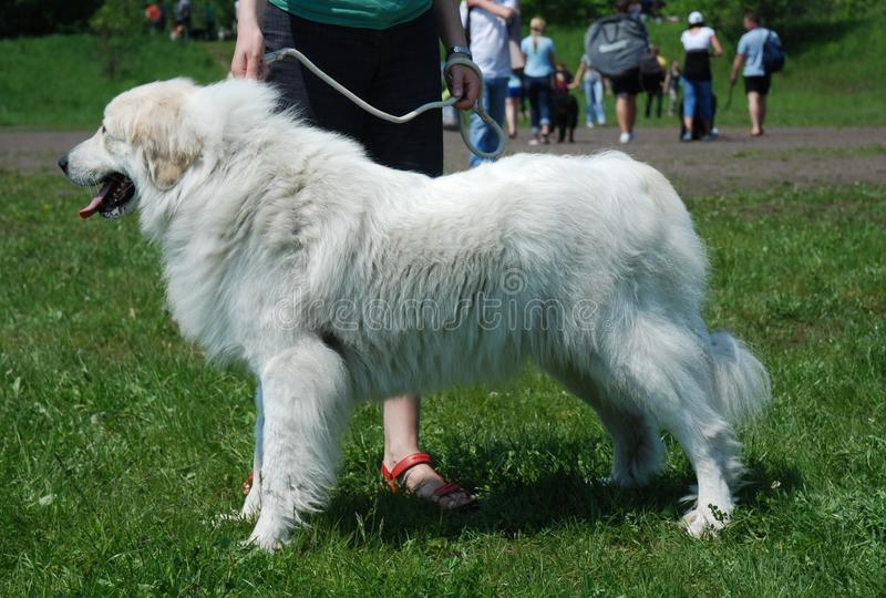 Great pyrenees female royalty free stock image