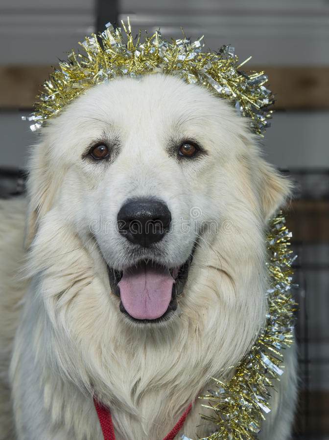 Great Pyrenees with gold tinsel wrapped around his body. Great Pyrenees with gold tinsel on his head and wrapped around his body stock photos