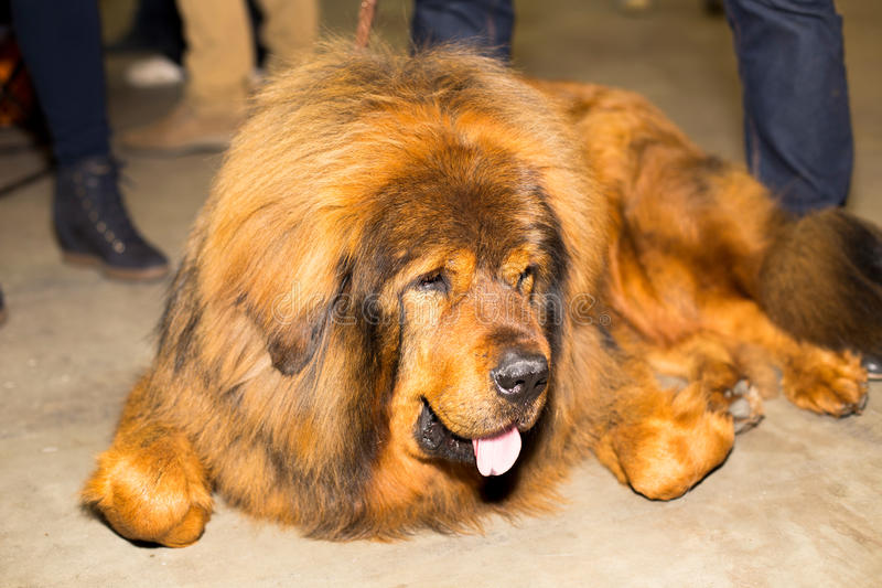 Great red well groomed Tibetan Mastiff royalty free stock photo